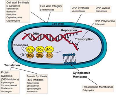 作用于细菌的细胞膜, 通过改变细菌的膜结构杀死细菌